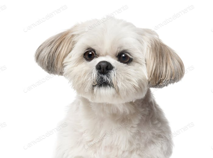 Shih Tzu (4 years old) in front of a white background