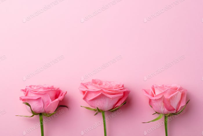 Rose Flowers in Pink Pastel Background. Copy Space. Top View.