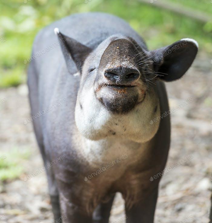 Tapir Eating Food