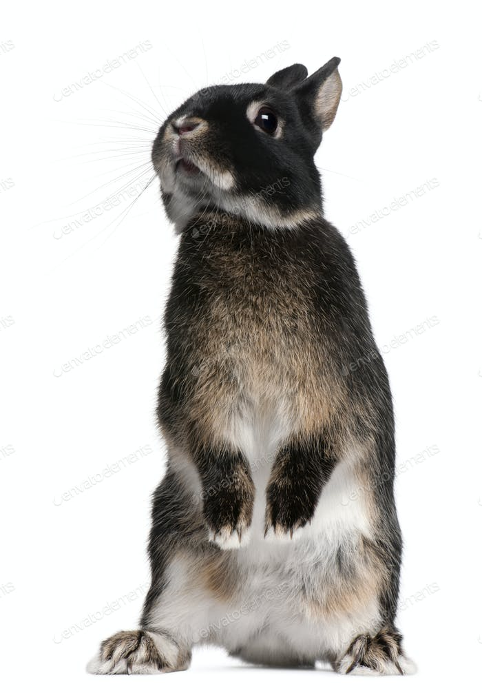 Rabbit standing on hind legs in front of white background