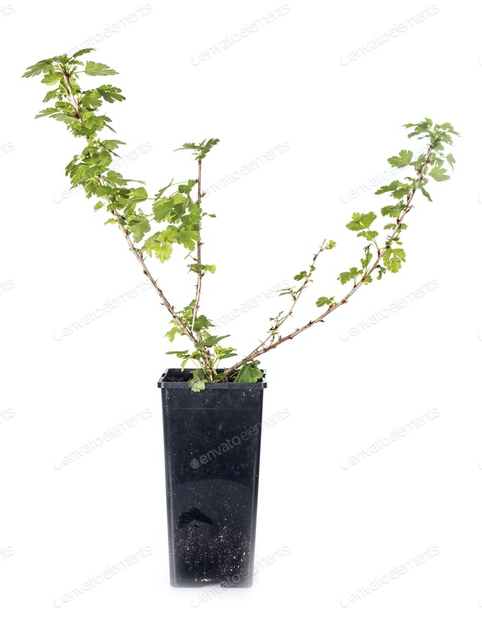 Ribes plant in studio
