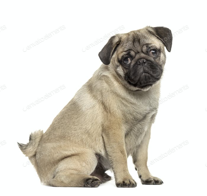 Side view of a pug sitting, isolated on white