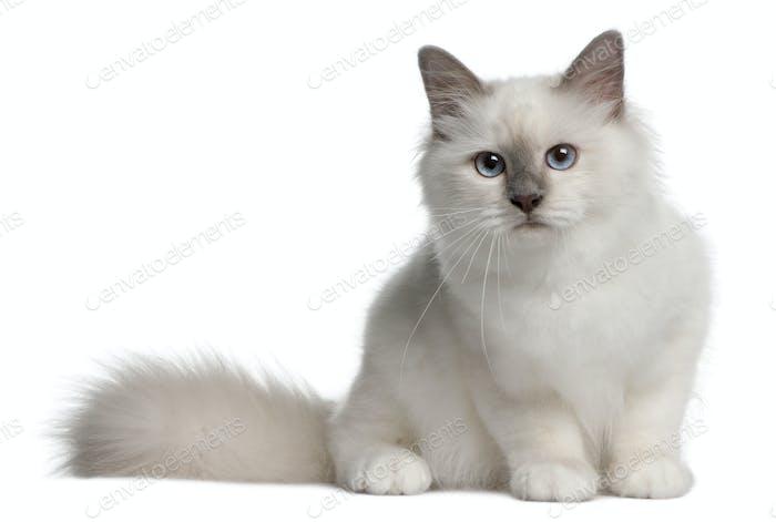 Birman Kitten, 4 months old, sitting in front of white background