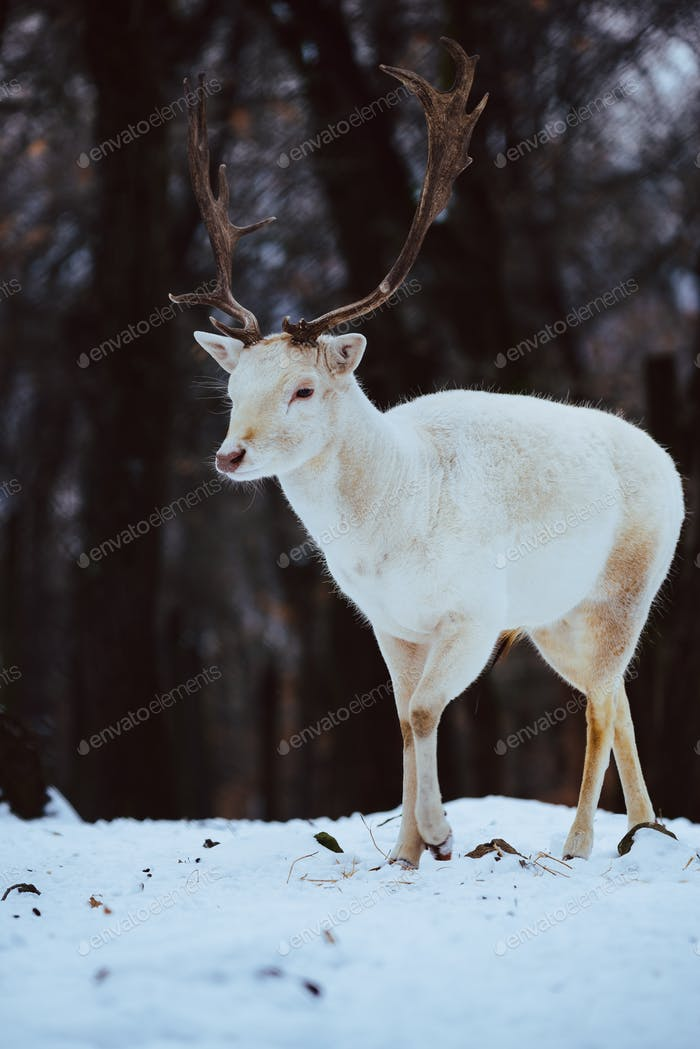 Albino white Fallow Deer Buck Dama Dama in the winter forest