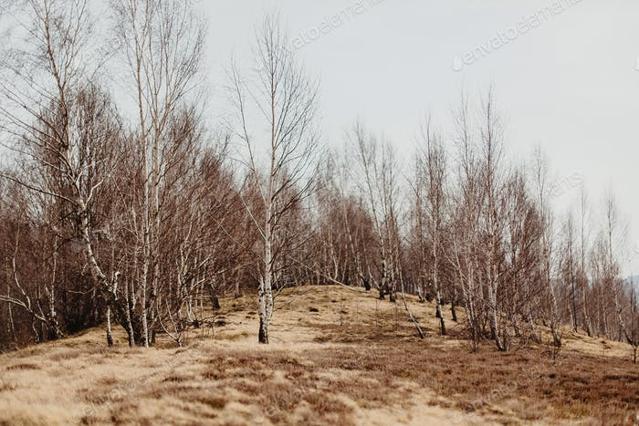 amazing landscape view of birch woods on hill top in sunny spring  mountains