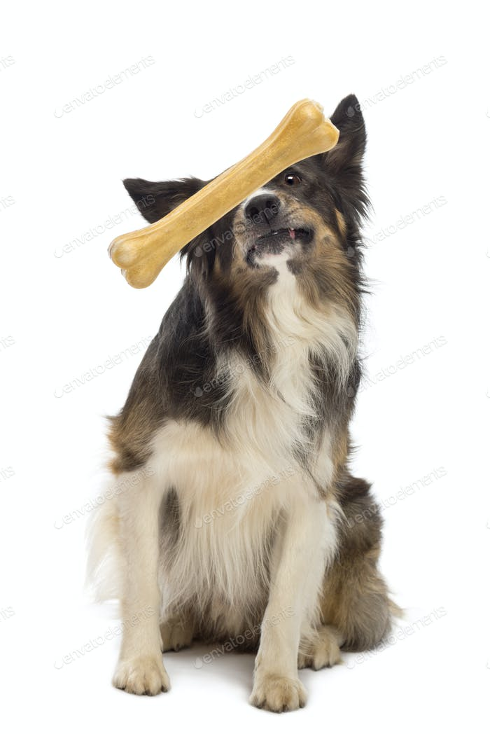 Border Collie looking at bone in front its face against white background