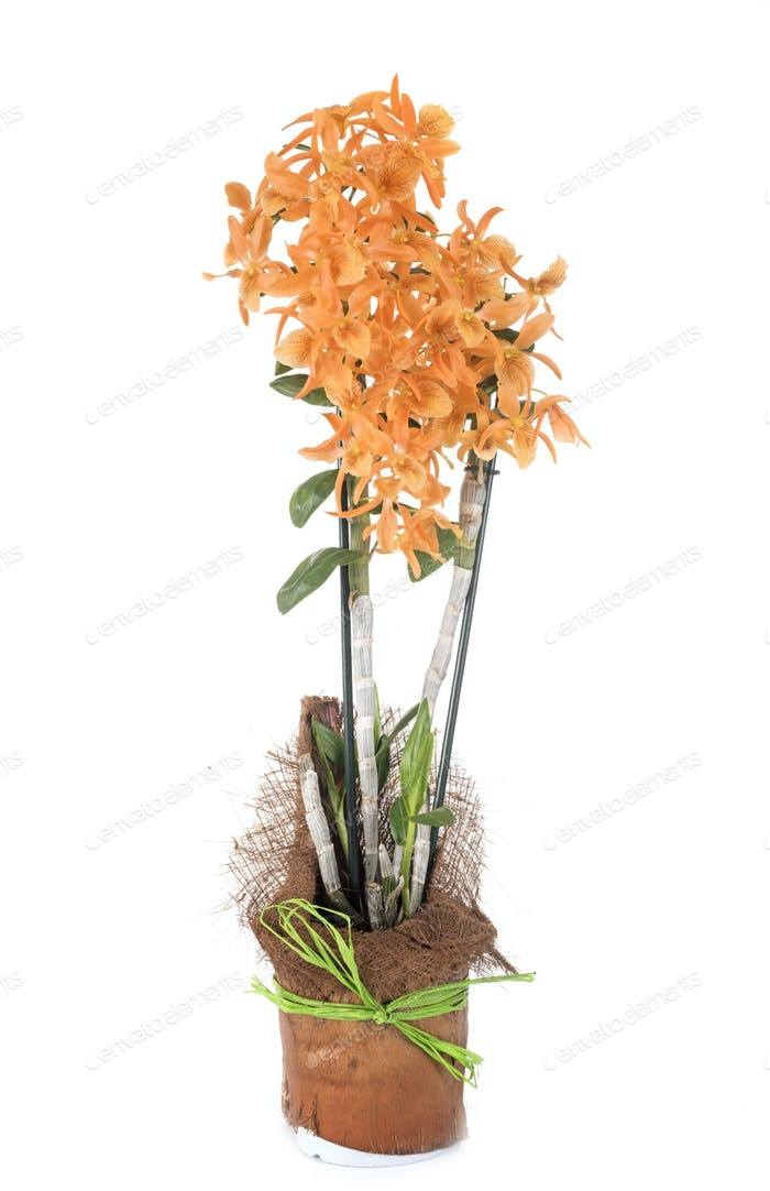 orange Dendrobium in studio