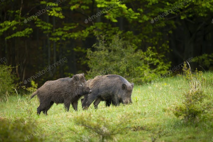 Two wild boars digging on a meadiow with green grass in summer nature