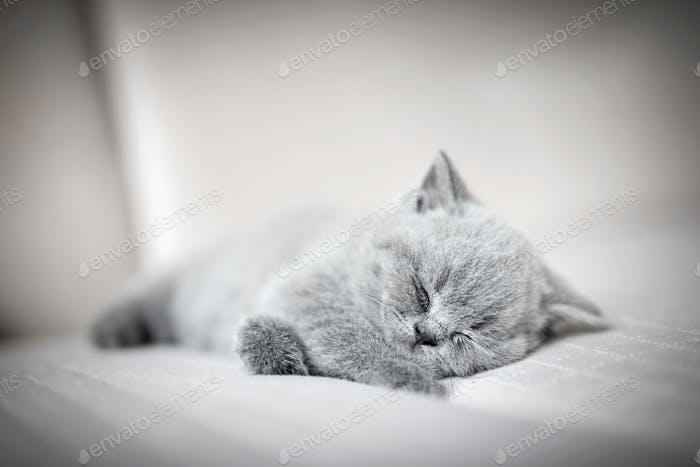Lazy fluffy kitten sleeping.