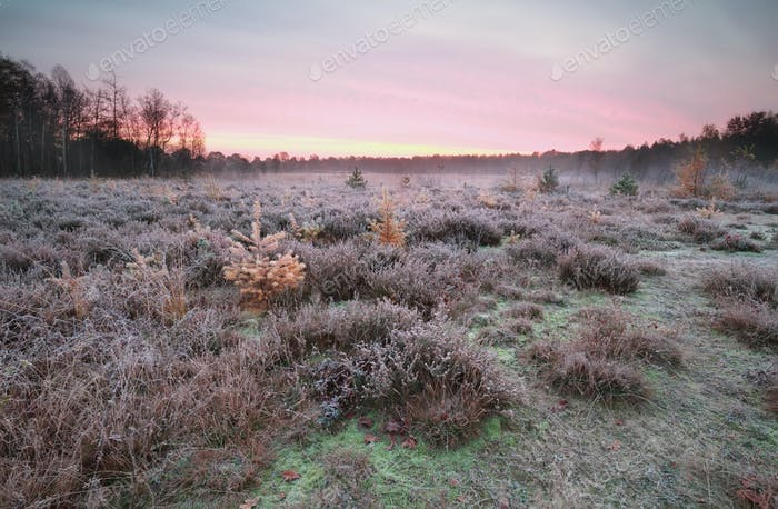 frosted heathland with larches at sunrise