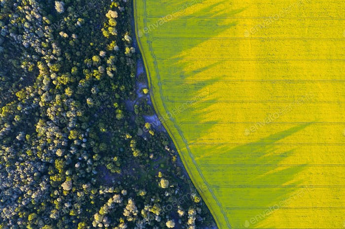 Aerial drone top view of yellow blooming field