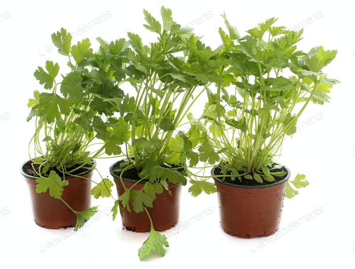 parsley in pot