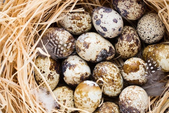 Wachteleier im Nest, ein Symbol des Frühlings.