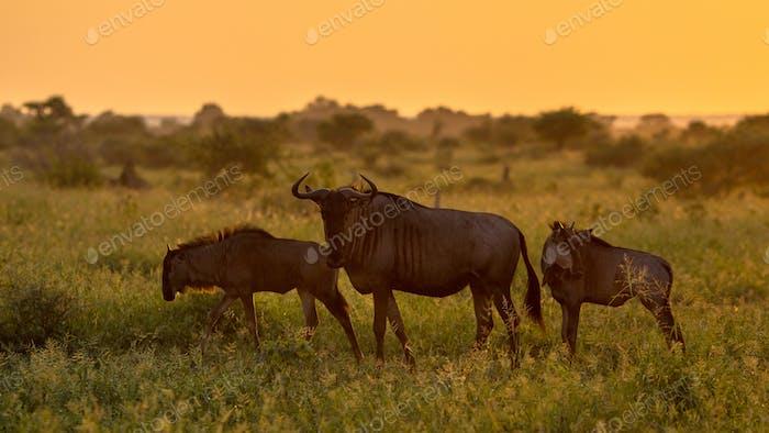 Savanna Orange light with three wildebeest