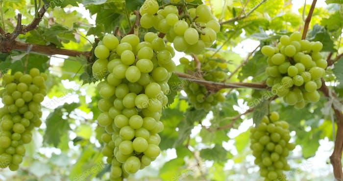 Fresh Grape farm garden