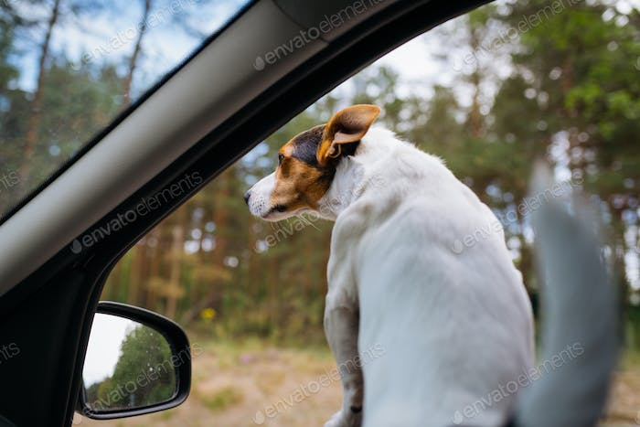 Funny dog Jack Russell Terrier looks out of the car window. Travel on a Sunny summer day.