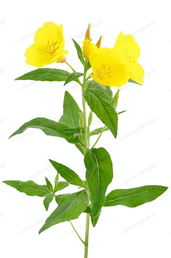 Oenothera Blume