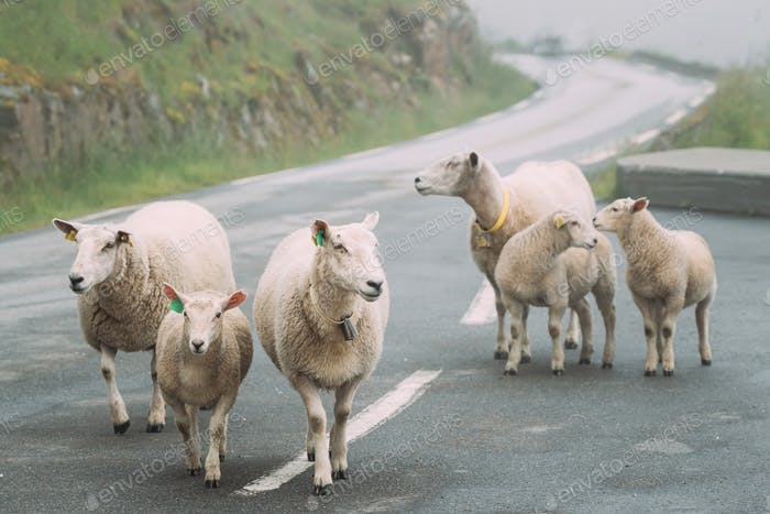 Norway. Escaped Domestic Sheep And Lamb Walking In Hilly Norwegian Road. Misty Spring Day. Sheep