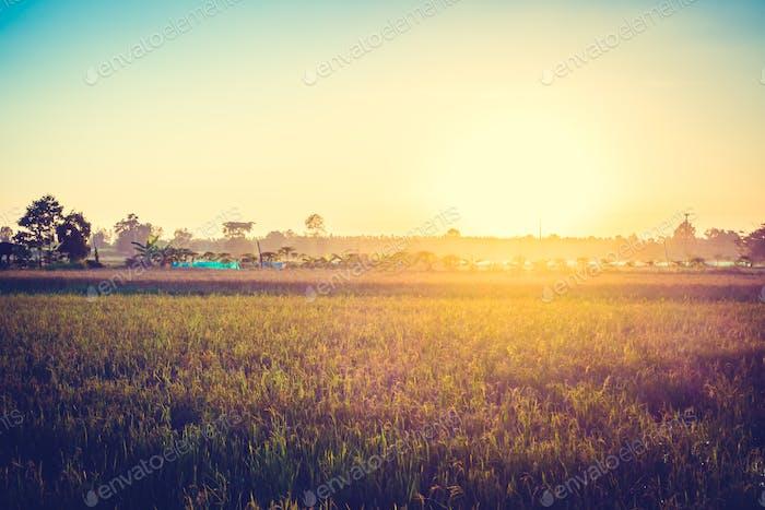 Campo de arroz con puesta de sol