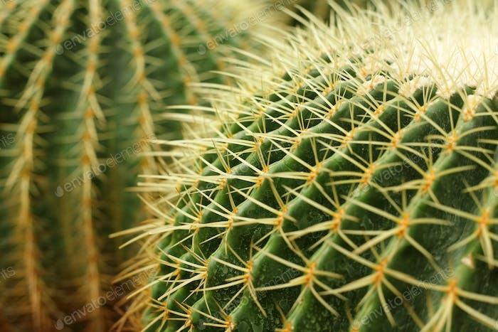 cactus , echinocactus grusonii, golden barrel cactus