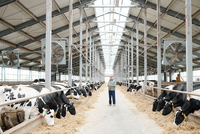 Two long rows of milk cows eating fresh hay and male worker of farmhouse
