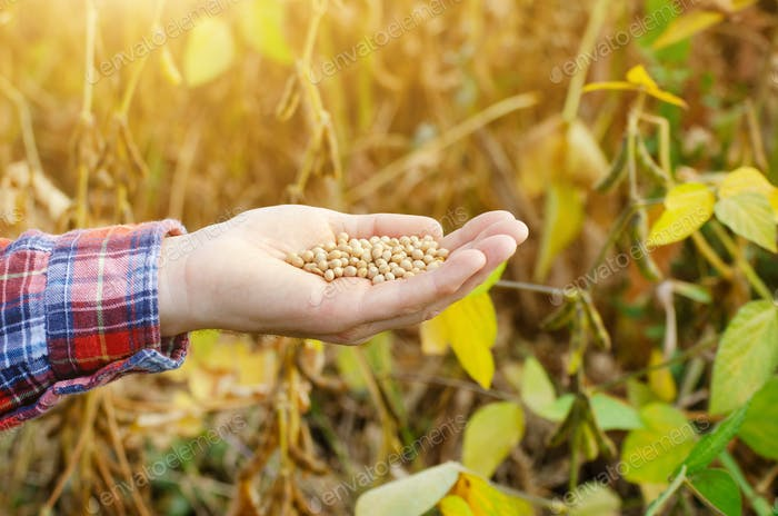 Ripe soy beans in human hand with dry pods at background evening sunset summer time