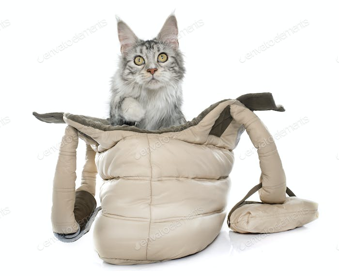 maine coon cat in bag