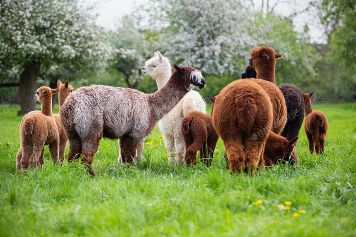 Alpaca Herd on the Meadow