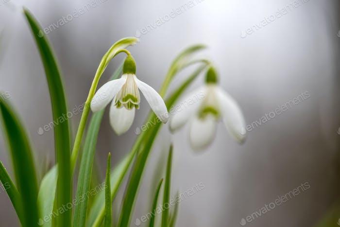 Schneeglöckchen Frühlingsblumen