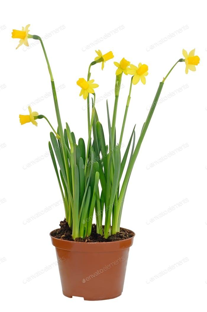 Daffodil flowers in a flowerpot