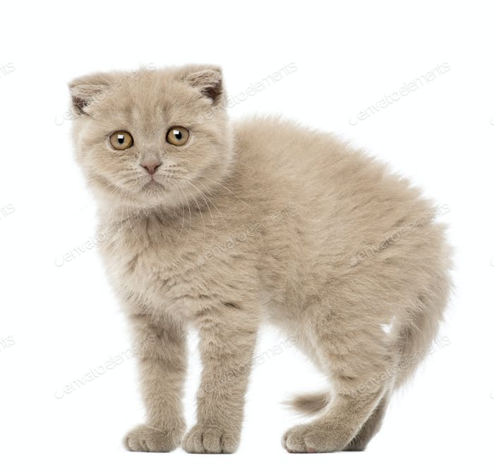 Portrait of Scottish Fold Kitten, 9 weeks old, against white background