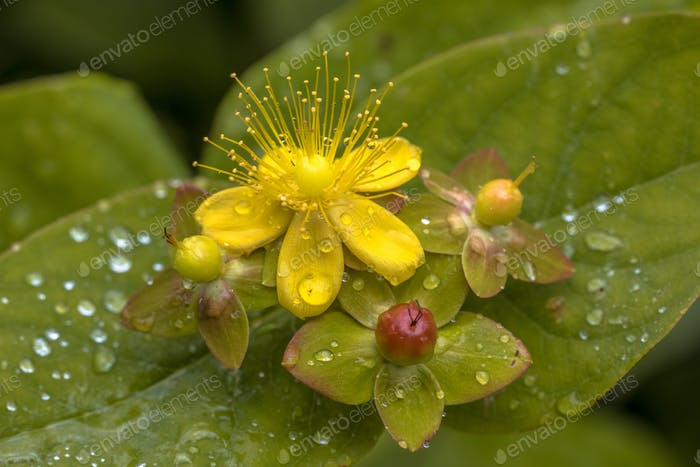 Yellow Hypericum flower with drops