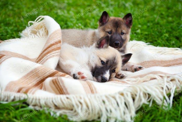 Zwei niedliche sibirische Laika Welpen auf der Decke