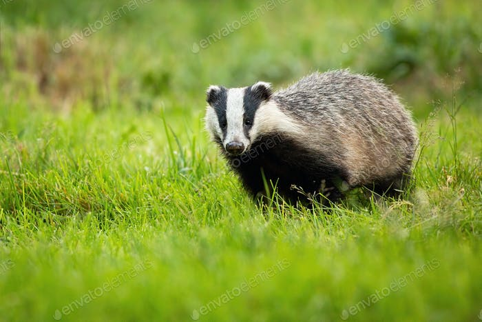 Cute european badger coming forward on fresh green lawn