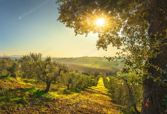 Maremma countryside panorama and olive trees on sunset. Casale Marittimo, Pisa, Tuscany Italy