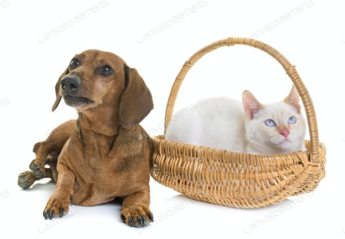 dachshund and kitten
