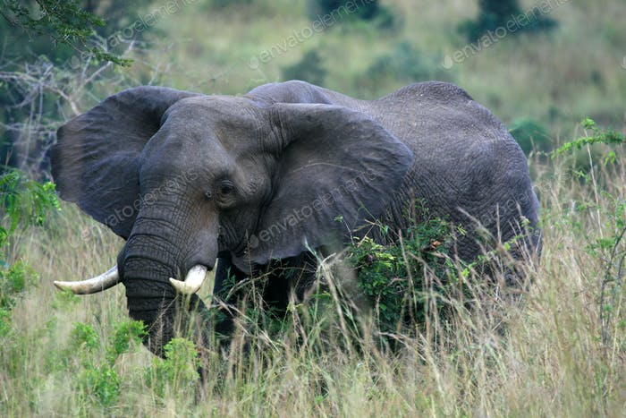African Elephant, Uganda, Africa