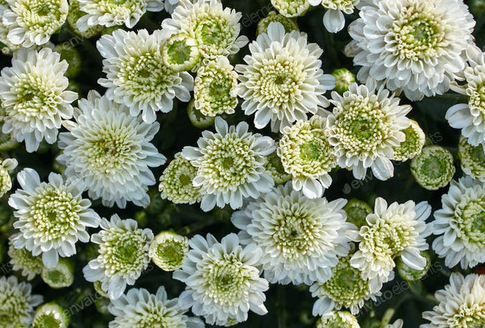 Top view of white flowers in bloom