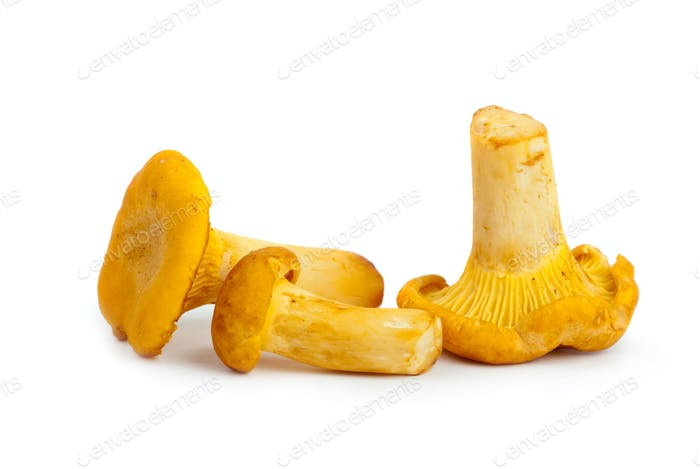 Three chanterelle mushrooms