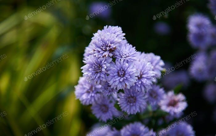 Nahaufnahme der lila Blume im Frühling