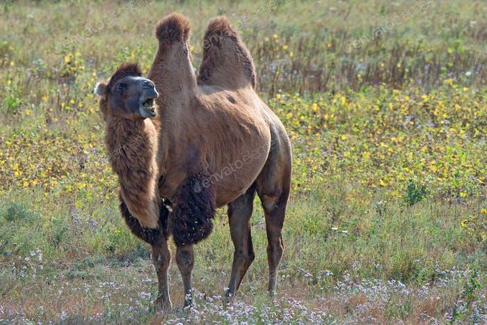 Surprised bactrian camel (Camelus bactrianus