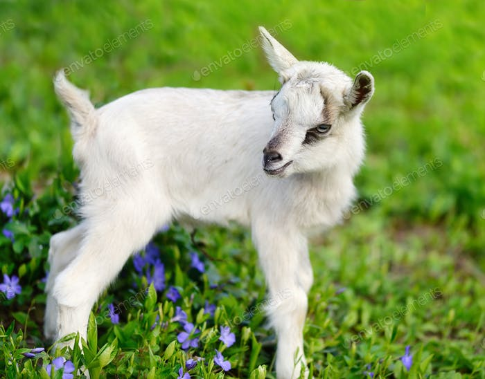White baby goat standing on green lawn with flowers periwinkle (