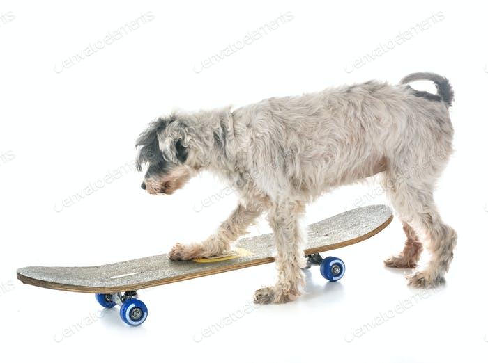 old tibetan terrier and skateboard