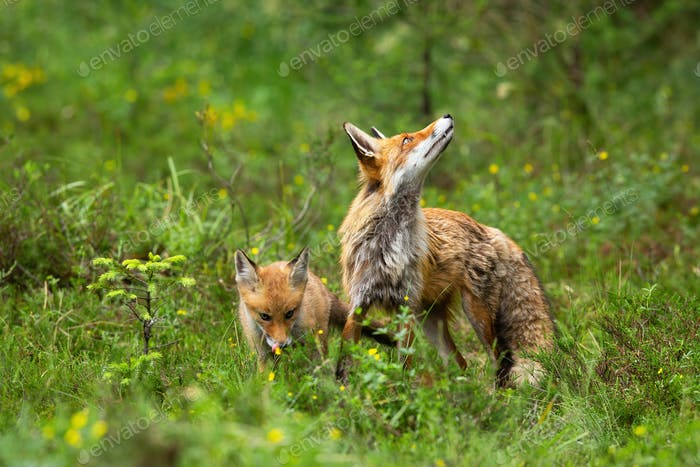 Alert red fox observing sky on green meadow with one cub hiding behind