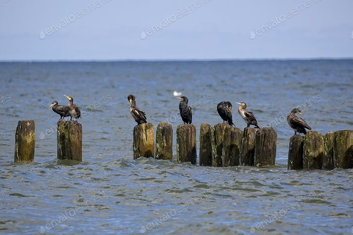 Black cormorants by the sea