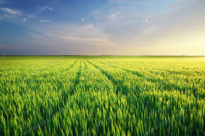 Meadow of wheat