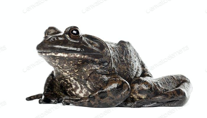 American bullfrog or bullfrog, Rana catesbeiana, against white background