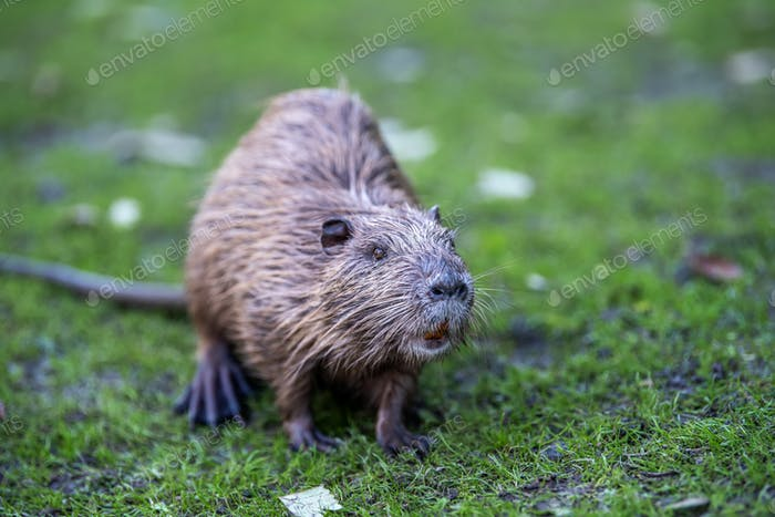 Young coypu (Myocastor coypus) in grass on river