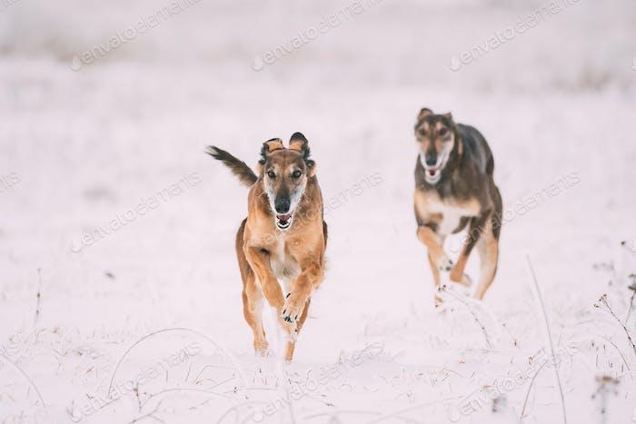 Two Hunting Sighthound Hortaya Borzaya Dogs During Hare-hunting