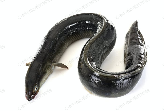 European eel in studio